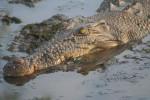 crocodil - Coccodrillo Maschio (13 anni)
