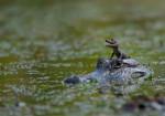 Yupie - Coccodrillo Maschio (1 mese)