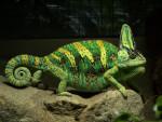 Crocoquette - Coccodrillo (1 anno)