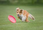 Un chiot Berger des Shetland court derrière un frisbee