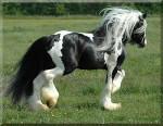 Cavallo Majestic~Mystic - Maschio ( (5 anni))