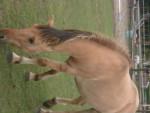 Cavallo Jumper - Maschio ( (5 anni))