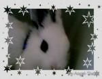 Coniglio Malibu - Maschio ( (2 mesi))