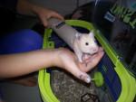 Criceto simba - Maschio ( (1 anno))