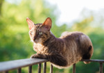Un Cornish Rex gris allongé sur une rambarde
