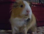 Porcellino d'India Bella - ( (1 anno))