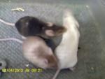 Topo Zulu, Smoki, & Cinni - Maschio ( (4 mesi))
