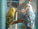 Uccello Perla y Blu - ( (1 anno))