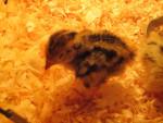 petite quaille - (1 mese)