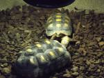 Tortoise -