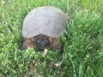 Snapping turtle -
