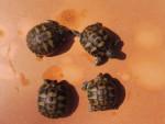 Nos 4 bébés tortues - (1 mese)